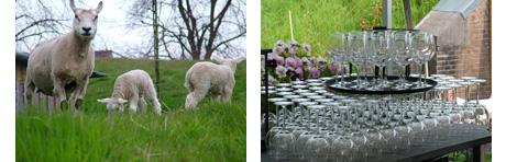 schapen bij fort H in Muiden